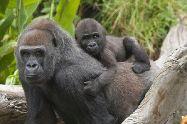 western+lowland+gorilla   Endangered Species Spotlight: Western Lowland Gorilla