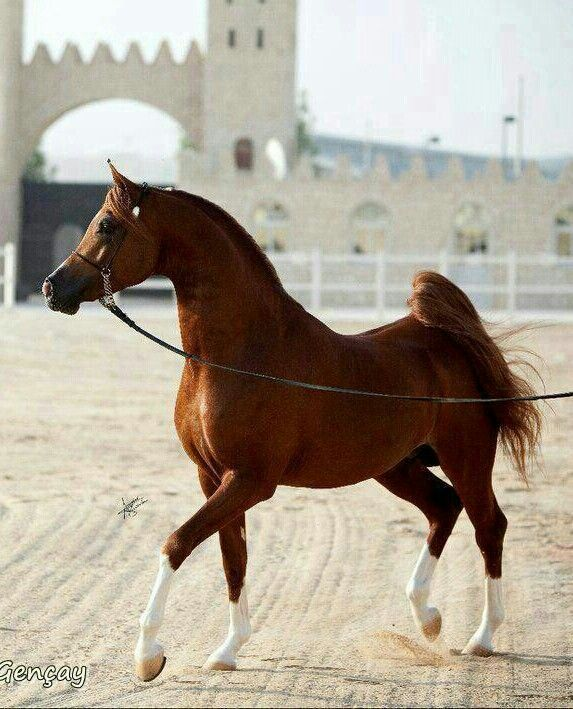 My favorite breed of horses.  They are majestic and magical.                                                                                                                                                      More