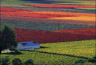 Vineyards near Hex River- Western Cape