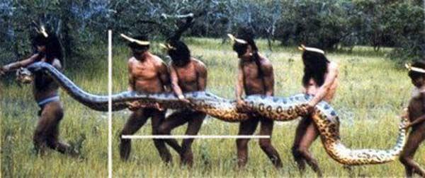 Anaconda sendo recolhida por tribos indígenas da Amazônia