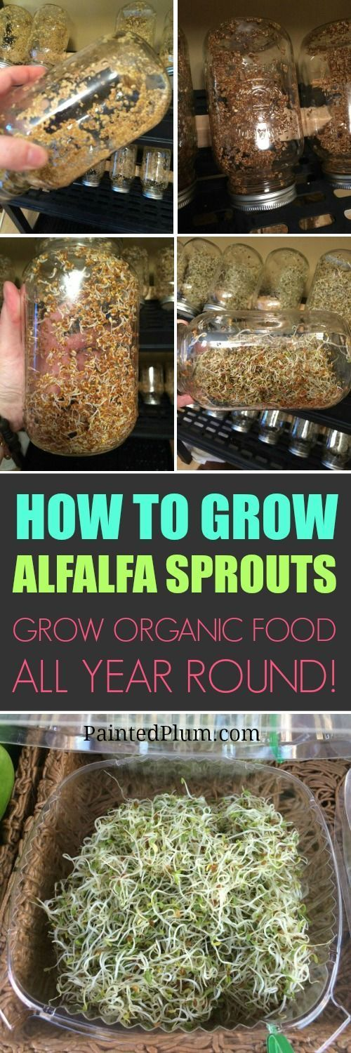 How to grow your own Alfalfa Sprouts! Step by step DIY Tutorial.  Grow organic food all year round!
