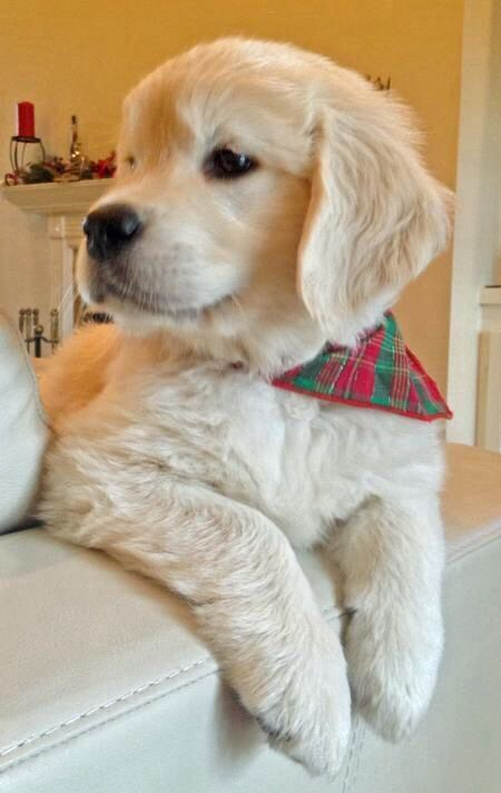 English cream golden retriever puppy! :)