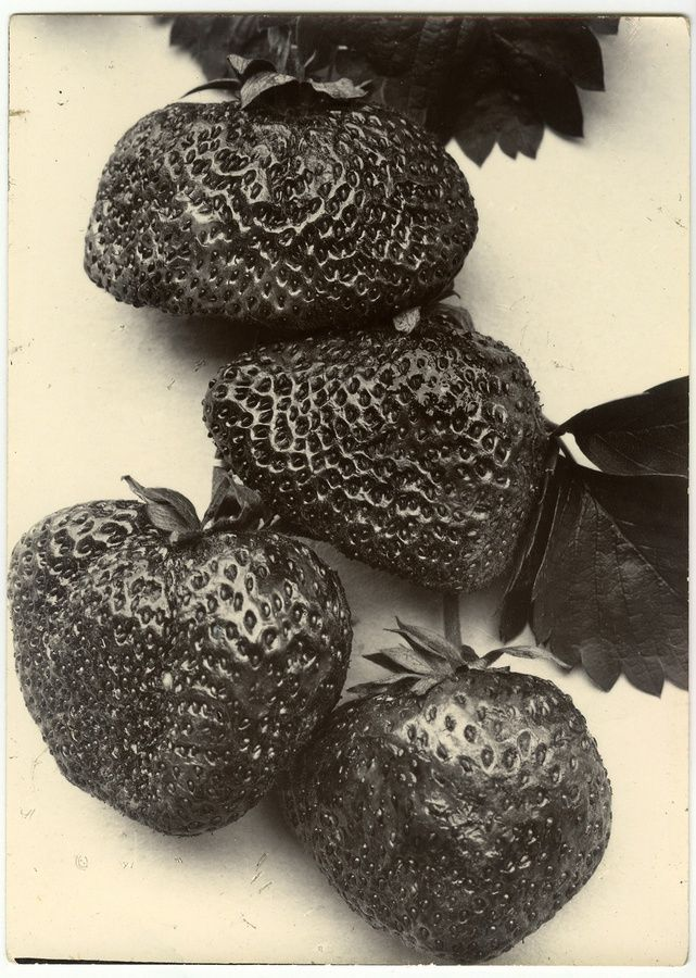 "<div class=""artist""><strong>Charles Jones</strong></div><div class=""title_and_year""><em>Strawberries</em>, c.1900</div><div class=""medium"">Unique gold toned gelatin silver printing out paper</div>"