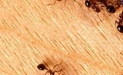 5 Best Essential Oils for Fire Ant Bites - http://www.howgetrid.net/essential-oils-for-fire-ant-bites/