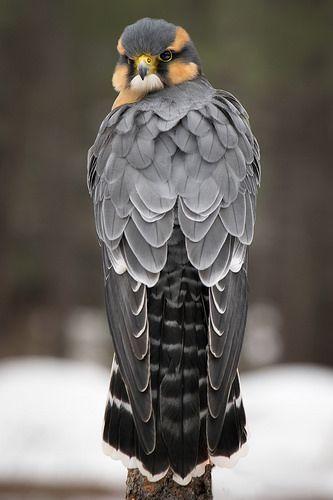 Aplomado Falcon: Jon David Nelson.
