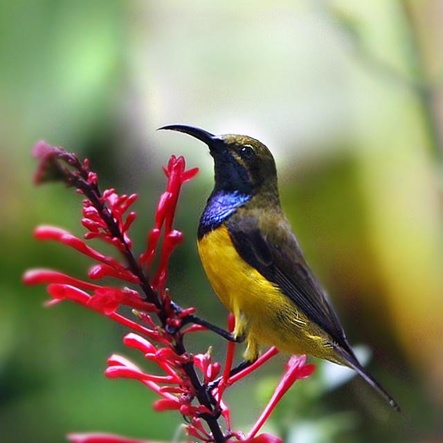 Birds Sunbird: Yellow-bellied Sunbird - Breakfast Time.