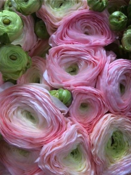 Great flower: ranunculus