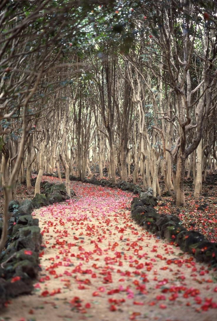 Fallen camellias on a path in the city of Hagi, Japan, would love to have a wedding photoshoot there