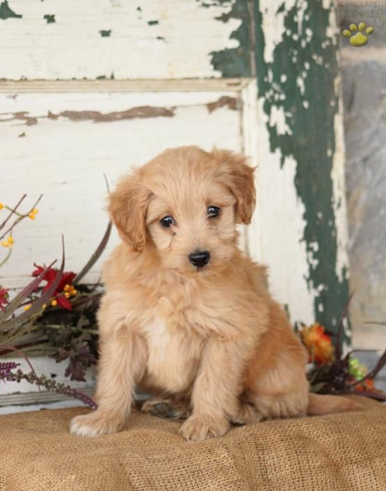 Pumpkin Spice Mini Goldendoodle Puppy For Sale In Lititz Pa