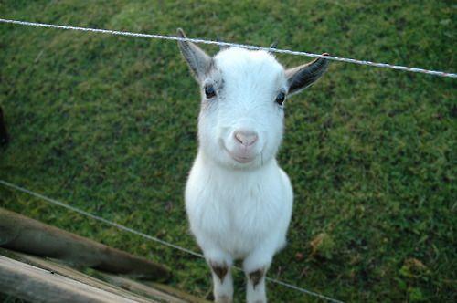 flourishtodecay:  crowcrow:  this happy goat is making me feel...