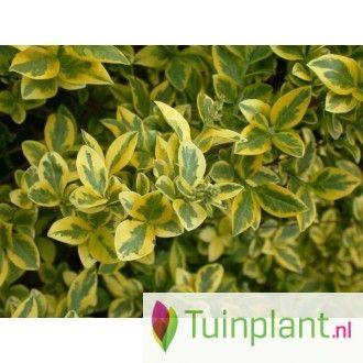 Bonte liguster (Ligustrum ovalifolium 'Aureum')