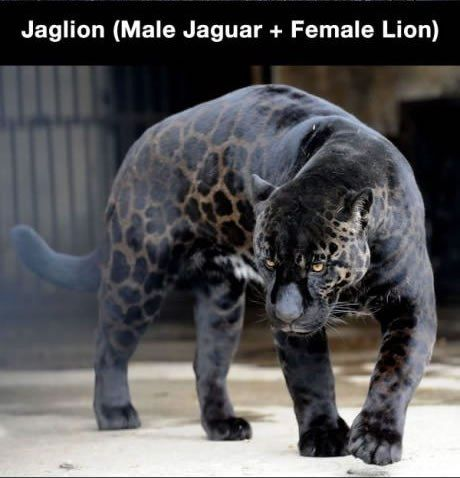 Jaglion (Male Jaquar + Female Lion)