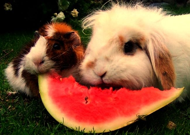Guinea Pig and Rabbit eating watermelon :)