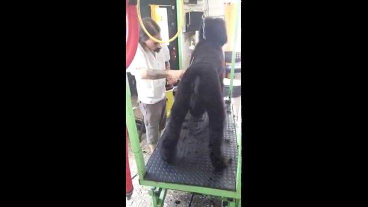 Trabajo a tijera en Caniche Gigante - Andrés Lamela