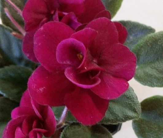 Red Flowering House Plants 808 best violetas images on pinterest | african violet