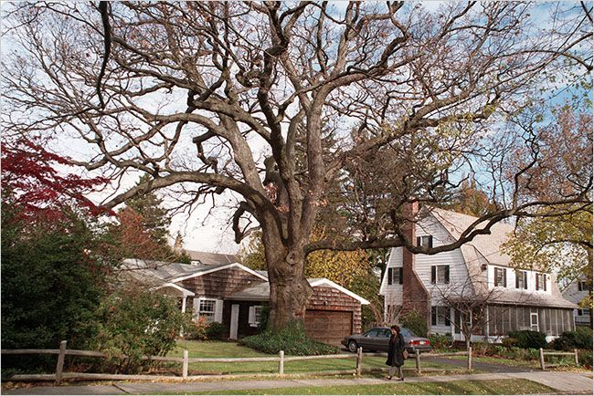 Great White Oak in Douglaston, Queens, Is Coming Down - The New York Times 600 year old Great White Oak tree on Arleigh Road, Douglaston. GONE