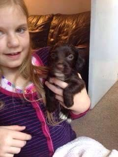 Sprocker puppys ready after the 14th oct For Sale in Peterborough, Cambs