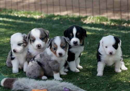 mini aussie puppies for sale | Mini Aussie, Miniature Australian Shepherd Puppies for Sale in Ramona ...