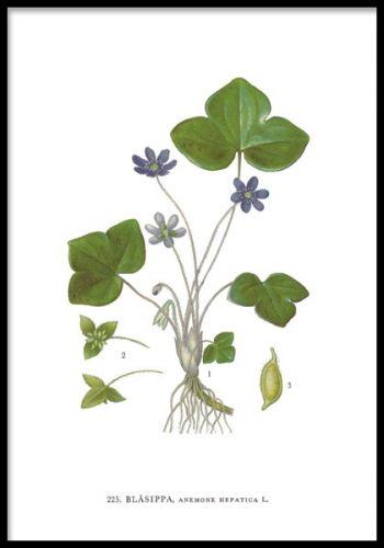 Botanisk plansch med vacker blåsippa.