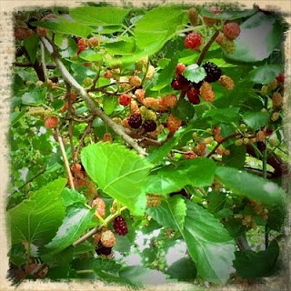 all around the mulberry bush! Just like they we had along the fence line in our back yard. I need one!!
