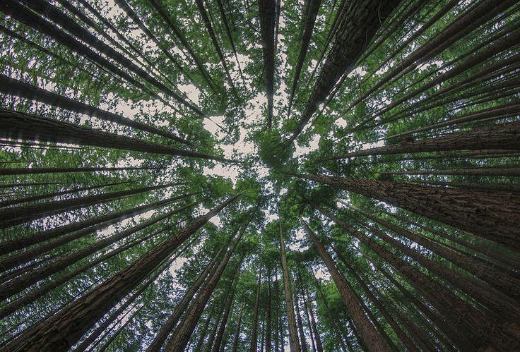 Bosque de Sequoyas  #Cantabria #Spain