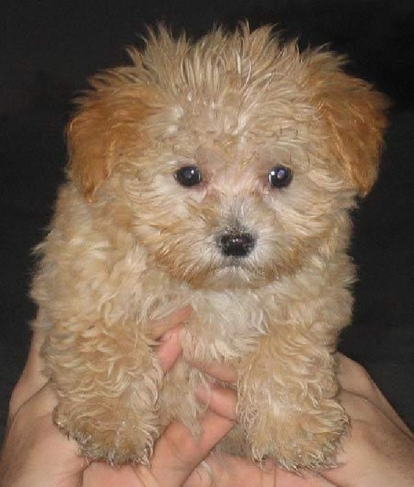 Brown Maltese Poodle Mix