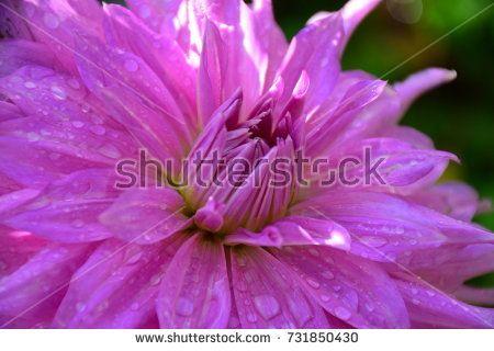 Light Purple Dahlia Flower in Garden with Droplets and Flecks of Sunlight (Georgina).