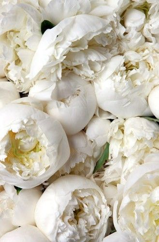 Gorgeous Snow White Peonies - what the nurse told my mom to call me - snow white.