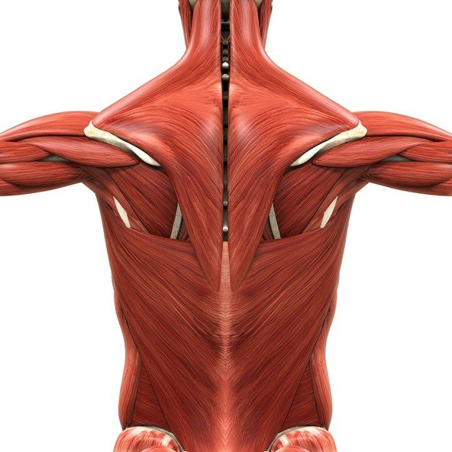 Muscle Deep FASCIA: Most Important TISSUE In the BODY = Nerves ~ Bones ~ Traditional Muscle Tissue ~ Blood Vessels = EPIMYSIUM {Wraps the Muscle Group}