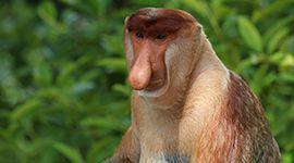 Viaje a MALASIA .Descubriendo Borneo  Descubriendo Borneo. Salida en grupo desde Madrid, 7 de AGOSTO. La fauna de Borneo no se limita a los orangutanes y los monos proboscis también encontraremos varios tipos de macacos, camaleones, varanos, serpientes, mariposas, cocodrilos…  http://www.trekkingyaventura.com/ofertas.asp