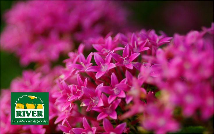 Las Ixoras híbridas son arbustos ideales para formar setos. En RIVER cuentas con el Abono Especial Ixoras y Azaleas.