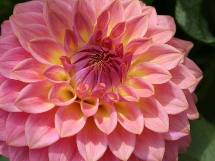 Andy Vernon's guide to Dahlias. Andy is passionate about dahlias, incorporating them into every available planting opportunity in his garden. Andy Vernon has produced and directed BBC Gardeners' World and BBC Gardener of the Year.