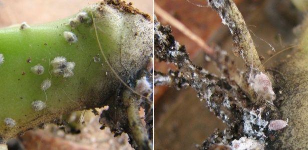 Aprenda a combater a cochonilha, uma das pragas mais prejudiciais às plantas ornamentais
