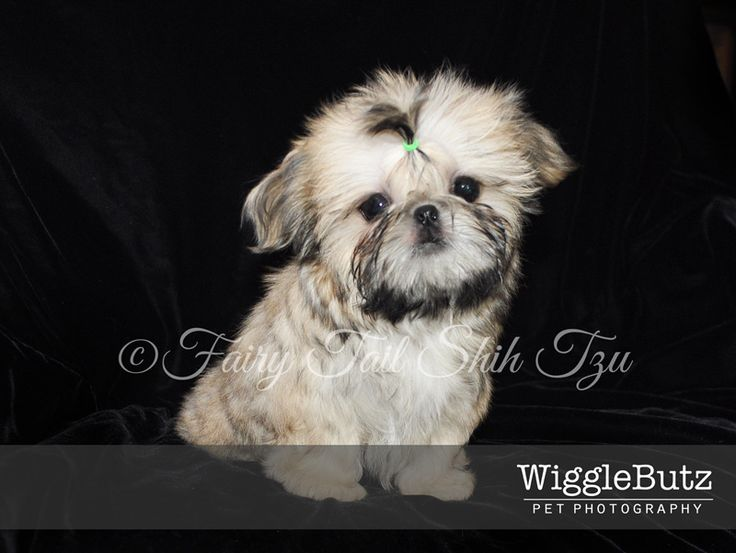 This gorgeous boy is Ricochet. He is a solid gold with black tips. He will be a future Fairy Tail Shih Tzu dad. Visit our Nursery for more info on our fur babies or other puppies that are currently available.  Health guarantee- worldwide shipping - Fairy Tail Shih Tzu - Tiny Teacup Imperial Shihtzu Purse Puppy Puppies for sale  http://fairytailshihtzu.com/nursery.html