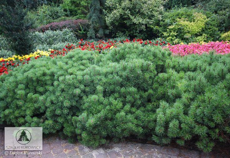 Pinus mugo var. pumilio - сосна горная 'Пумилио'