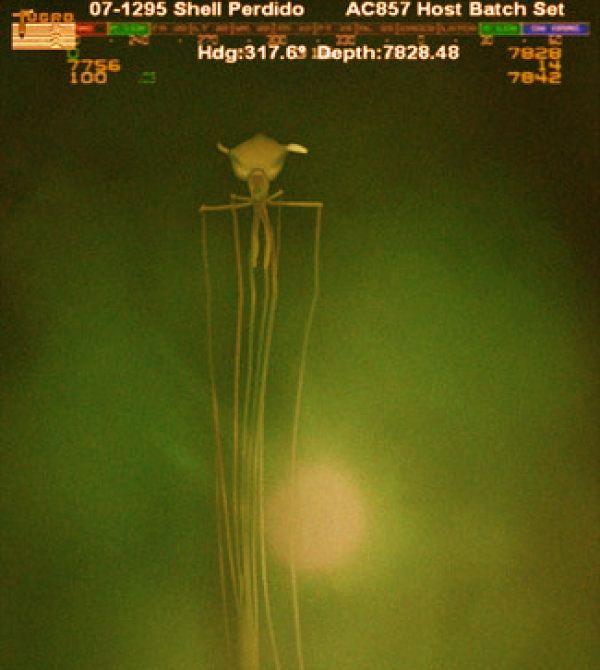 Big Fin Squid ROV photo