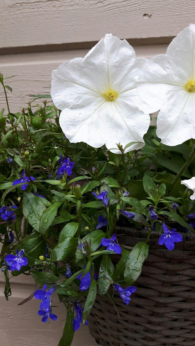 Suomi 100, valkoinen petunia ja sininen lobelia