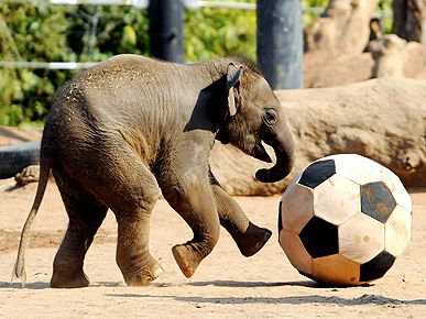 Asian elephant playing with giant soccer ball!