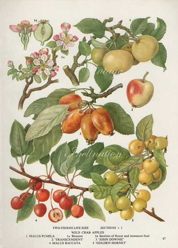 Vintage Botanical Print Antique WILD CRAB APPLES 47, plant print botanical print, bookplate art print, apple fruit plants plant wall print