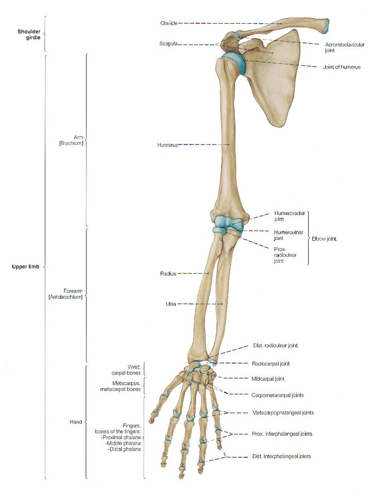 Arm anatomy, anterior (frontal) view.