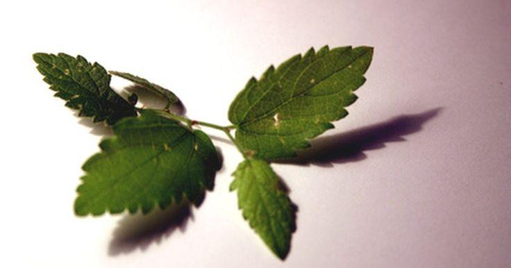 ¿Cómo se fuman las hojas de menta?. Masticar o fumar hojas de menta es un remedio casero que a menudo se usa para curar la adicción al tabaco. Culturas de India y China han fumado una variedad de hierbas, desde raíz de jengibre hasta manzanilla, durante siglos por sus propiedades medicinales y terapéuticas. Las hojas de menta también se añaden con frecuencia a la marihuana o al ...