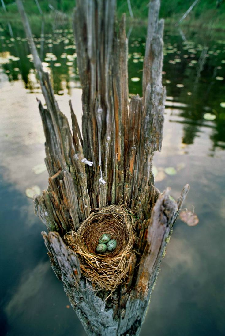 Amazing! Water logged tree stump cradling a nest with three blue eggs.