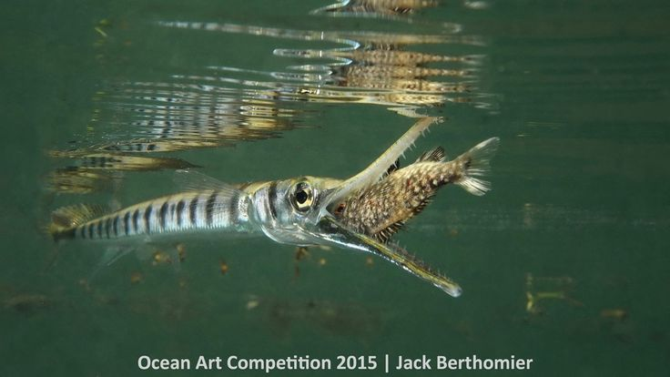 1st place, compact behavior category, 'Fast Strike of a Tylosorus Crocodilus on a Juvenile Kyphosus Vaigiensis' #Piclectica