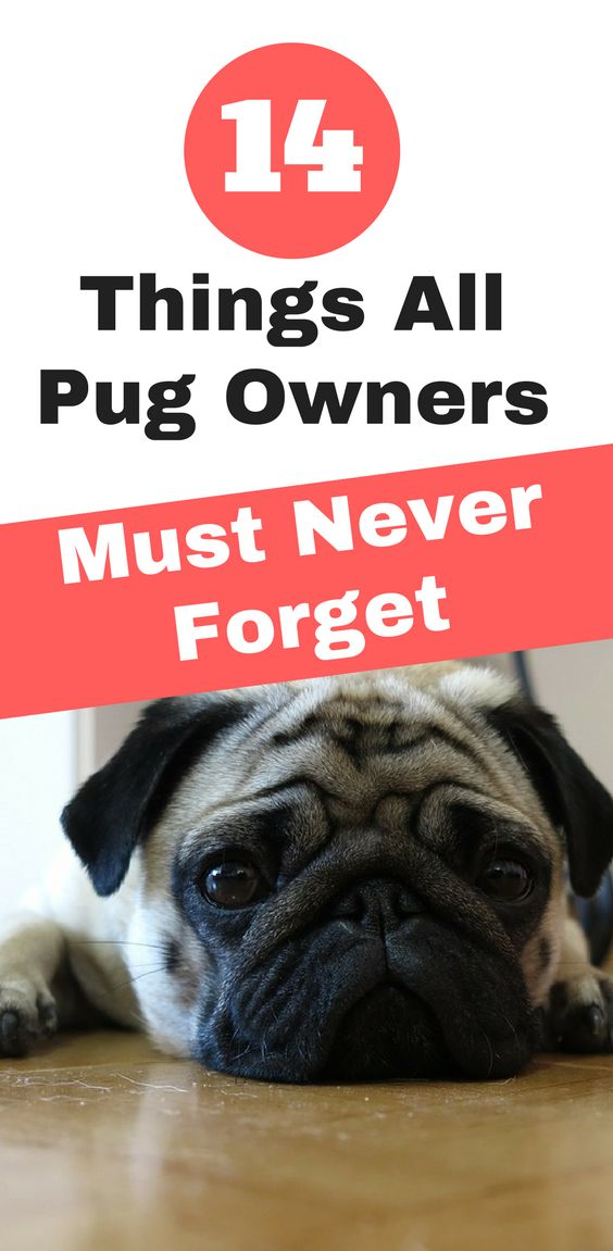 14 Things All Pug  Owners Must Never Forget. | pug facts | pug care