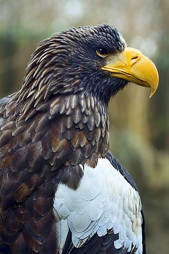 "Steller's Sea Eagle. Another of the ""giant"" eagles.  Wing span about 8 feet, incredible strength in its 3 inch talons. and a resourceful hunter."