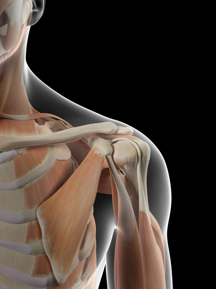 Anatomy shoulder blade