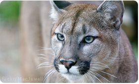 TAKE ACTION to save endangered Florida Panthers!