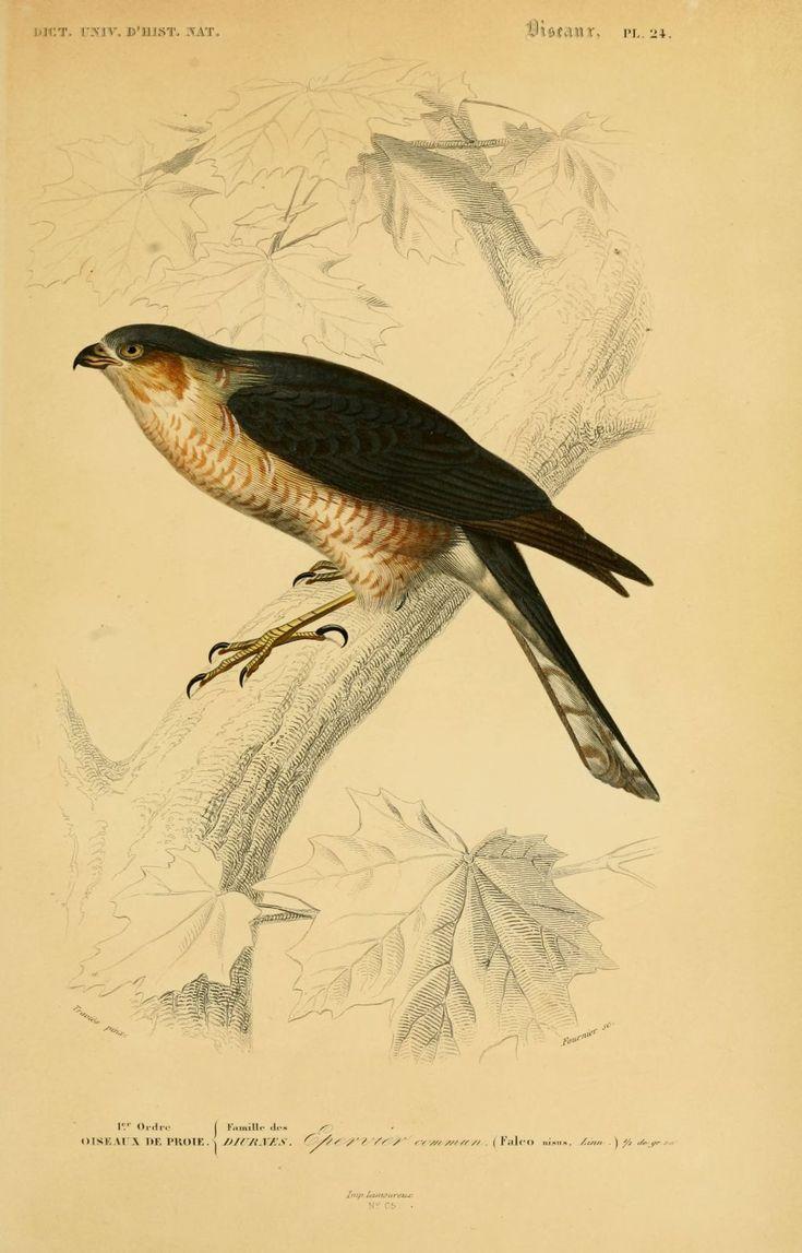 10 meilleures id es propos de dessins d 39 oiseaux sur for Oiseau commun