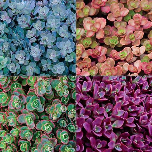 ground covering creeping sedum collection - Ground Cover Ideas