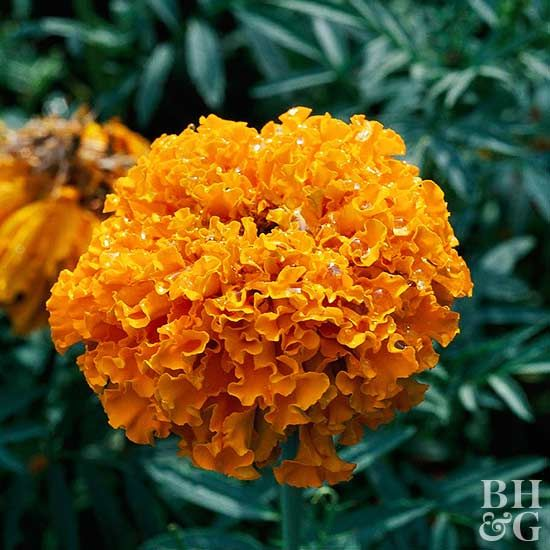 African Marigold (Tagetes erecta) have long been planted as an easy-to-grow annual that requires very little maintenance. Coming in warm colors of creamy white, yellow, orange, and rusty red, African marigolds can add a welcome pop of color all season long.